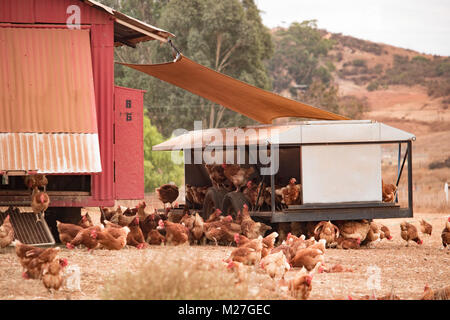 Free range chickens, happy hens laying organic brown eggs on sustainable farm using chicken tractors - Stock Photo