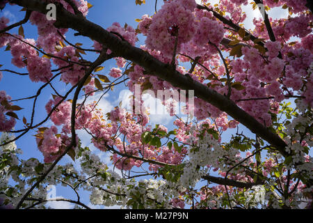 Cherry blossoms (Prunus serrulata), spring at Neumagen-Dhron, Moselle river, Rhineland-Palatinate, Germany, Europe - Stock Photo