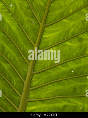 Texture of a large green leaf with details. Background of a colorful plant of a natural park. - Stock Photo