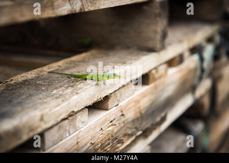 Green Anole lizard (Anolis carolinensis) basking on wooden pallets - Stock Photo