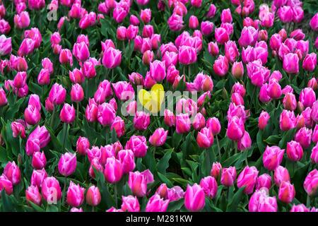 Single yellow tulip in a field of pink tulips, Bollenstreek, Netherlands - Stock Photo