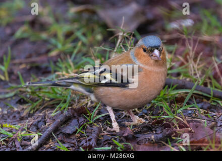 Adult male Common Chaffinch (Fringilla coelebs), a small bird in Winter on the ground eating in West Sussex, England, - Stock Photo