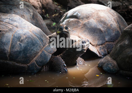Aldabra giant tortoises in turtle sanctuary, on Prison island reservation, Zanzibar - Stock Photo