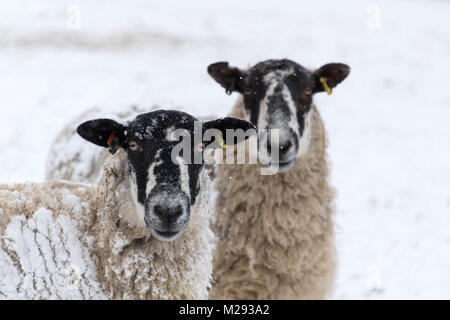 Hawes, UK. 6th February, 2018. Sheep waiting in the snow for feed, near Hawes, upper Wensleydale  in the Yorkshire - Stock Photo