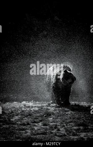 Brown Bear shaking off after a bath, Cabárceno, Spain - Stock Photo