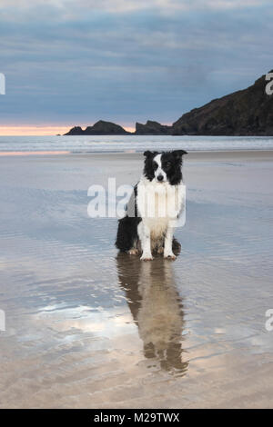 Border Collie dog sitting on beach looking at the camera with coastline in the background - Stock Photo