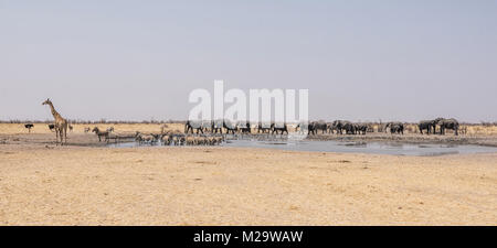 A busy watering hole in the Namibian desert savanna - Stock Photo