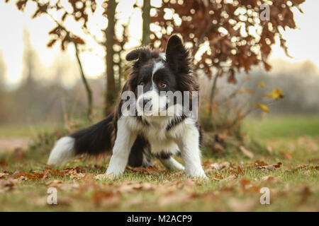 A picture of the young border collie puppy enjoying the walk in the nature. - Stock Photo