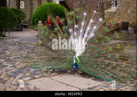 A peacock wondering on the grounds of Sao Jorge Castle, Lisbon, Portugal - Stock Photo