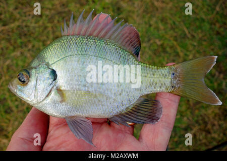 A Bluegill Fish or bream, brim or copper nose - Stock Photo