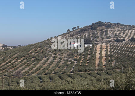 view over Olive groves  Jaen province, Region of Andalusia, Spain, Europe         January - Stock Photo