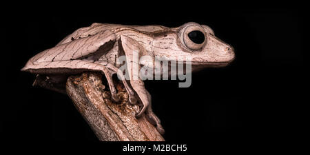 Polypedates otilophus / File-eared tree frog - Stock Photo
