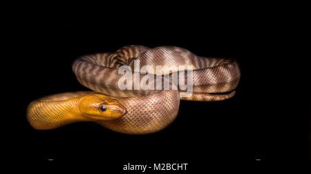 Woma python - Stock Photo