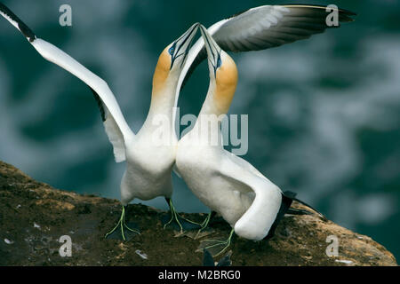 New Zealand, North Island, Murawai Gannet Colony, Australasian gannet ( Morus Serrator ) courtship behaviour. - Stock Photo