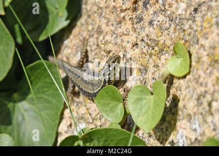 Female Common Wall Lizard Podarcis muralis on a rock face on Gorey Castle on the Island of Jersey UK with ivy growing - Stock Photo
