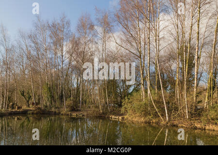 Cluster of Silver Birch trees around a small fishing lake, at Woodland Waters, Ancaster, Lincolnshire. - Stock Photo