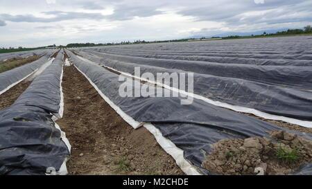 Der Spargel gilt als das Königin-Gemüse.  Der Spargel wächst im Frühjahr und wird in der Regel in den Monaten April, - Stock Photo