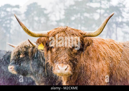 a highland cow during winter - Stock Photo
