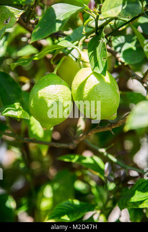 three green young big fresh unripe lemons grow on tree - Stock Photo