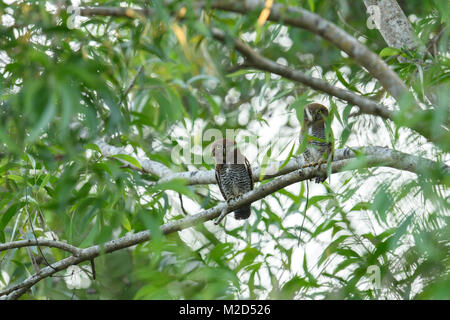 The forest owlet (Athene blewitti) is an owl that is endemic to the forests of central India. This bird is on the - Stock Photo
