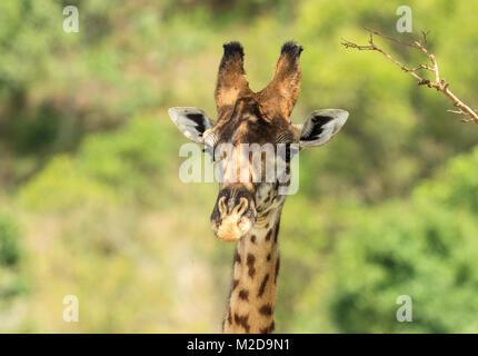 The Masai giraffe, also spelled Maasai giraffe, also called Kilimanjaro giraffe, is the largest species of giraffe - Stock Photo