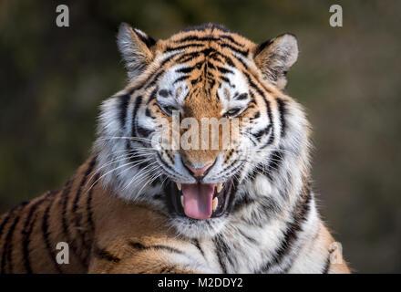 Female Amur tiger grinning - Stock Photo