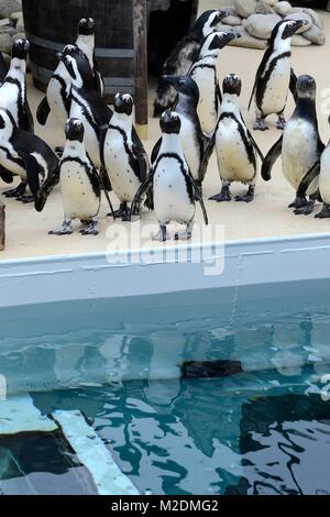 Die Brillenpinguine erkunden ihr neues Revier  bei der Saison-Eroeffnung im Zoo Hannover  am 06.04.2012 - Stock Photo