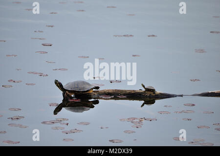 Red Eared Slider Turtle on log with baby at Lake Artemesia - Stock Photo