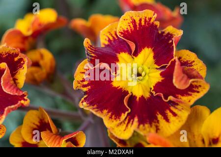 Primula polyantha 'Castillian' - Stock Photo