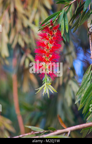 CHEEL- Hindi name, Callestemon viminalis, from bottle brush family. Spikes are formed in spring and summer and made - Stock Photo