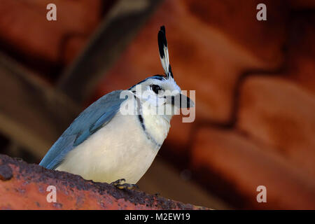 White-throated Magpie Jay looking down on the camera whilst sitting in a roof in the Arenal National Park in Northern - Stock Photo