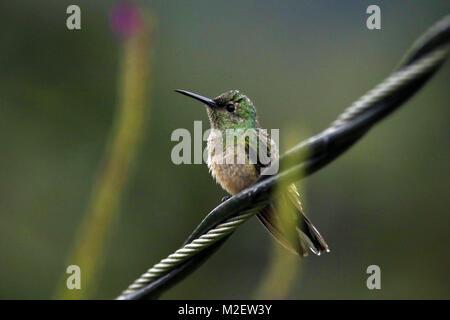 Wild Volcano Hummingbird (Selasphorus flammula) sitting on a wire in the village of El Castillo on the slopes of - Stock Photo