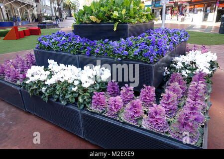 Pansies and Kale flowers on display as garden attraction in Dandenong Australia - Stock Photo