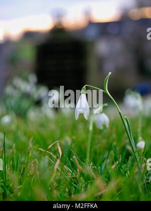 Tissington Village, Derbyshire. 7th Feb, 2018. UK Weather: Snowdrop flower in Tissington Village, Peak District - Stock Photo