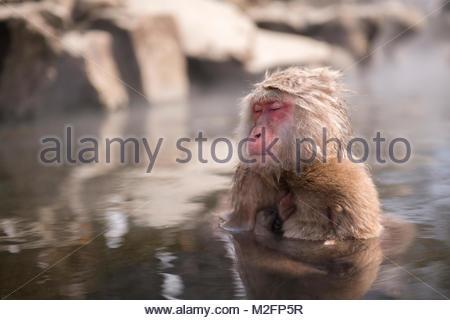 Snow monkey enters a hot spring, at Jigokudani Snow monkey in Nagano, Japan. - Stock Photo