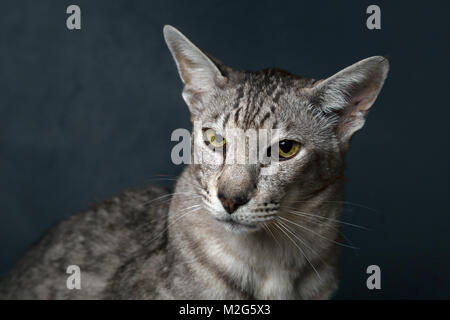 A pedigree Oriental Shorthair cat with chocolate silver shaded coat pattern. - Stock Photo