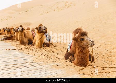 camels IV, badain jaran - Stock Photo