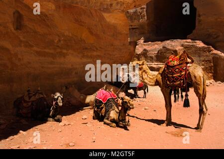A group of camels waiting owner in front of Petra's Tomb, Jordan - Stock Photo
