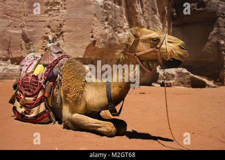 A bedouin camel rests near the treasury Al Khazneh carved into the red rock at Petra, Jordan - Stock Photo