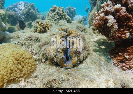 Bivalve mollusk maxima clam, Tridacna maxima, underwater in the Pacific ocean, French polynesia - Stock Photo