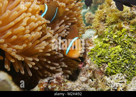 Tropical fish orange-fin anemonefish, Amphiprion chrysopterus, hidden in sea anemone tentacles, underwater Pacific - Stock Photo