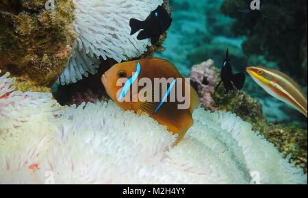 Tropical fish orange-fin anemonefish, Amphiprion chrysopterus, over sea anemone tentacles underwater in the Pacific - Stock Photo