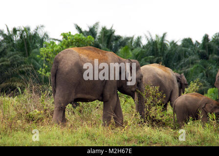 Borneo pygmy elephant (Elephas maximus borneensis) is a subspecies of the Asian elephant endemic to Borneo - listed - Stock Photo