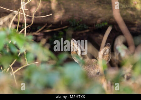 Roe deer (Capreolus capreolus)  smallest of British native deer. Hiding in dense undergrowth showing ears and an - Stock Photo