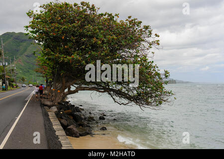 Tree clinging to sea wall preventing erosion on Kamehameha Highway, near Ka'a'awa, Oahu, Hawaii, USA - Stock Photo