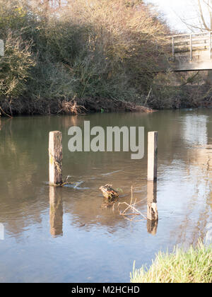 old dead wood stumps standing in river lake water landscape; essex; england; uk - Stock Photo