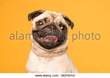 Millie the pug - Stock Photo