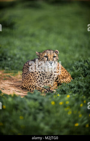 Beautiful Wild Cheetah resting on green fields, Close up - Stock Photo