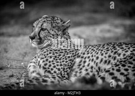Beautiful Wild Cheetah resting on green fields, Close up, in Black and White - Stock Photo