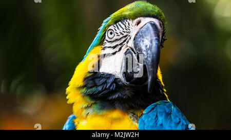 Blue and Yellow Macaw close-up landscape shots with blurred background - Stock Photo